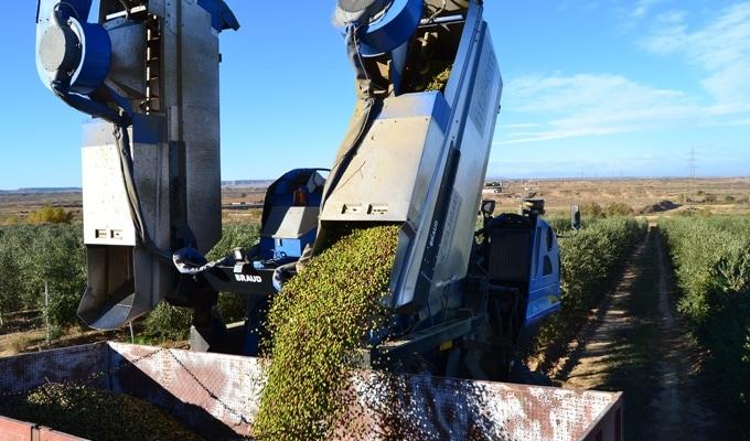 Terminada la cosecha de la oliva arbequina